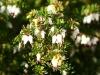 Plantas de invierno para exterior: brecina