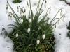 Plantas de invierno para exterior: campanilla