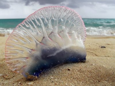 Picaduras de medusa: Tratamiento y remedios naturales
