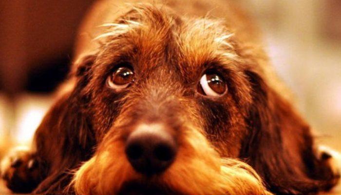 Perros que pueden vivir en un piso: ¿Cuáles son?