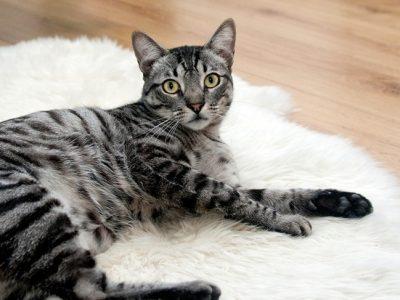 He perdido al gato: ¿Qué hago?